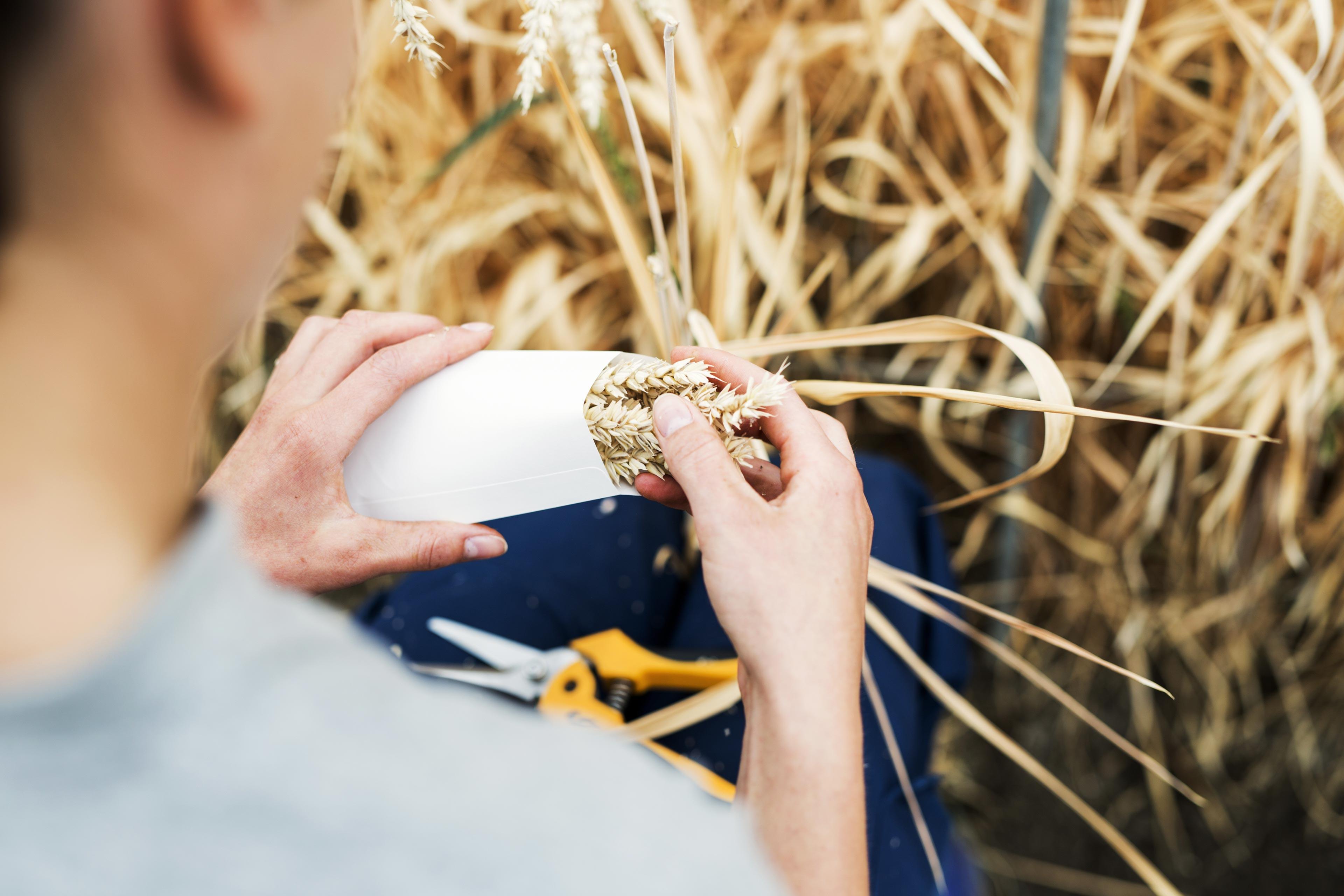 Tjej samlar och plockar ihop vete från ett vetefält